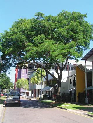 """Взрослое дерево Кассии требчатой (Cassia fistula, """"golden shower tree"""") в центре Дарвина, в контрасте с рядом пальм дальше по улице. Image: Clouston Associates"""